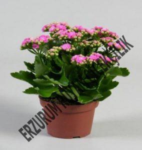 saksı çiçeği