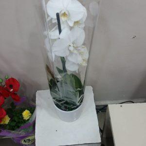 saksıda çiftdal beyaz orkide