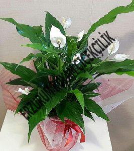 saksı çiçeği atama çiçeği